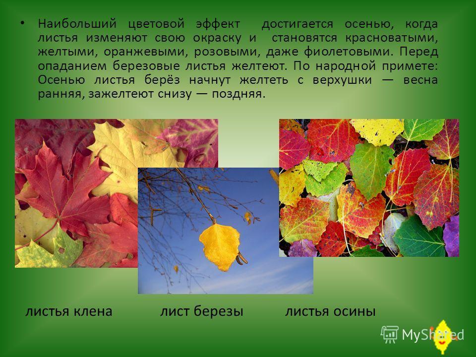Наибольший цветовой эффект достигается осенью, когда листья изменяют свою окраску и становятся красноватыми, желтыми, оранжевыми, розовыми, даже фиолетовыми. Перед опаданием березовые листья желтеют. По народной примете: Осенью листья берёз начнут же