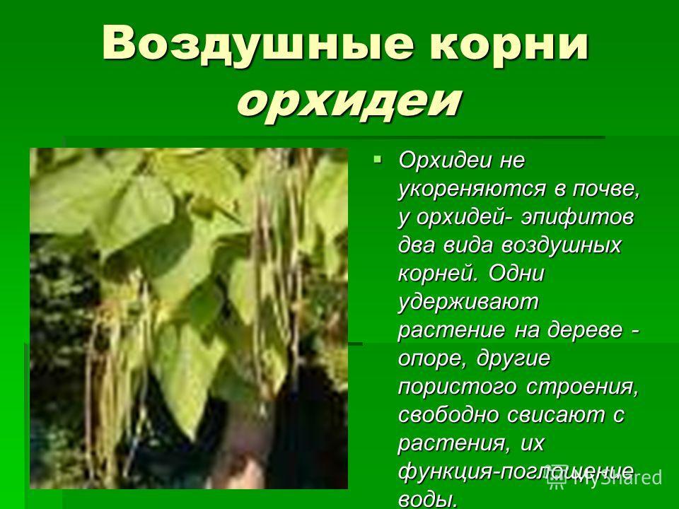 Воздушные корни орхидеи Орхидеи не укореняются в почве, у орхидей- эпифитов два вида воздушных корней. Одни удерживают растение на дереве - опоре, другие пористого строения, свободно свисают с растения, их функция-поглощение воды. Орхидеи не укореняю