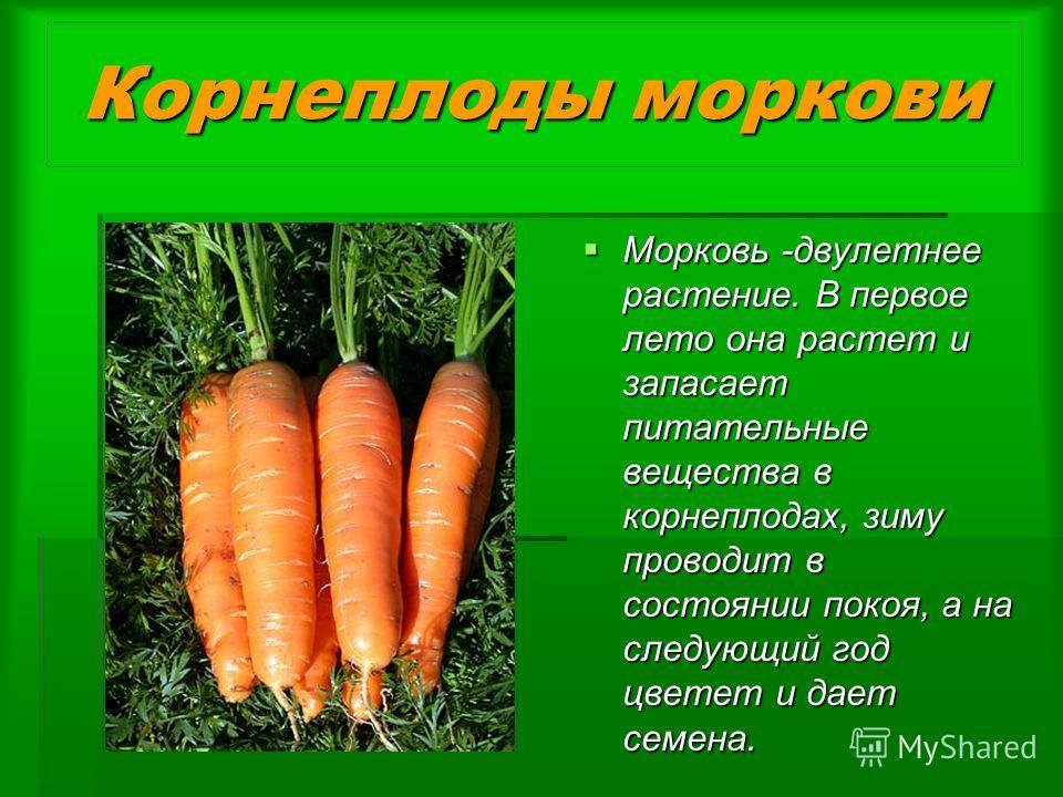 Корнеплоды моркови Морковь -двулетнее растение. В первое лето она растет и запасает питательные вещества в корнеплодах, зиму проводит в состоянии покоя, а на следующий год цветет и дает семена. Морковь -двулетнее растение. В первое лето она растет и