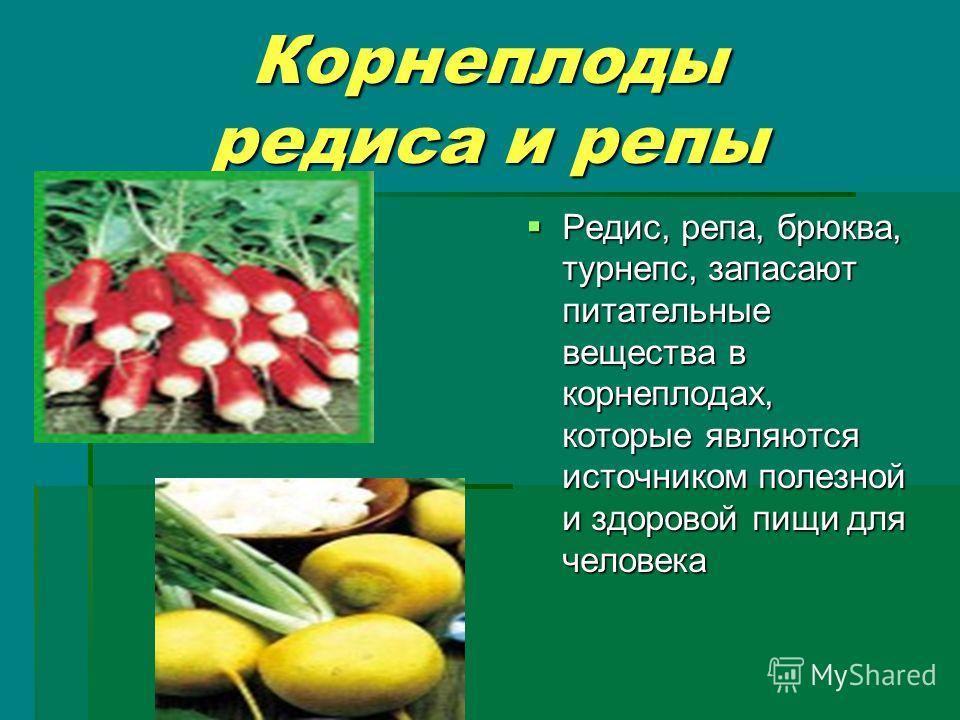 Корнеплоды редиса и репы Редис, репа, брюква, турнепс, запасают питательные вещества в корнеплодах, которые являются источником полезной и здоровой пищи для человека Редис, репа, брюква, турнепс, запасают питательные вещества в корнеплодах, которые я