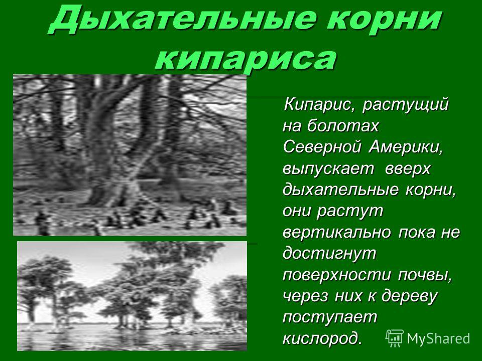 Дыхательные корни кипариса Кипарис, растущий на болотах Северной Америки, выпускает вверх дыхательные корни, они растут вертикально пока не достигнут поверхности почвы, через них к дереву поступает кислород. Кипарис, растущий на болотах Северной Амер