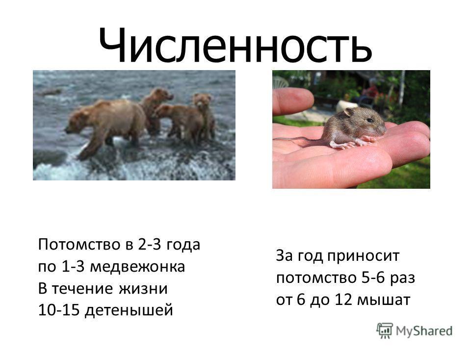 Численность Потомство в 2-3 года по 1-3 медвежонка В течение жизни 10-15 детенышей За год приносит потомство 5-6 раз от 6 до 12 мышат