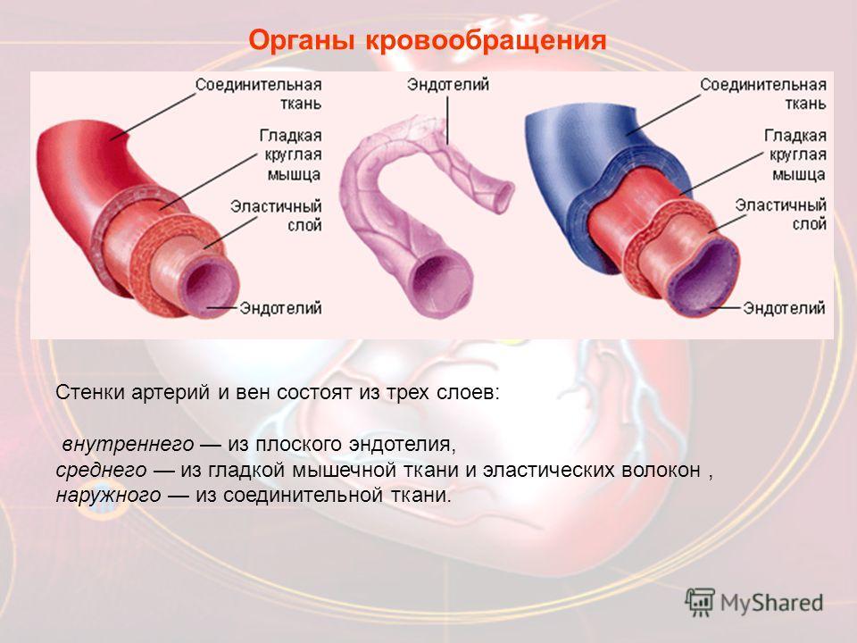 Органы кровообращения Стенки артерий и вен состоят из трех слоев: внутреннего из плоского эндотелия, среднего из гладкой мышечной ткани и эластических волокон, наружного из соединительной ткани.