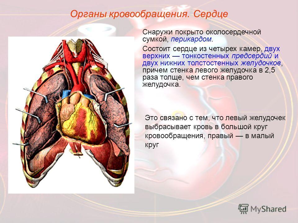 Снаружи покрыто околосердечной сумкой, перикардом. Состоит сердце из четырех камер, двух верхних тонкостенных предсердий и двух нижних толстостенных желудочков, причем стенка левого желудочка в 2,5 раза толще, чем стенка правого желудочка. Это связан