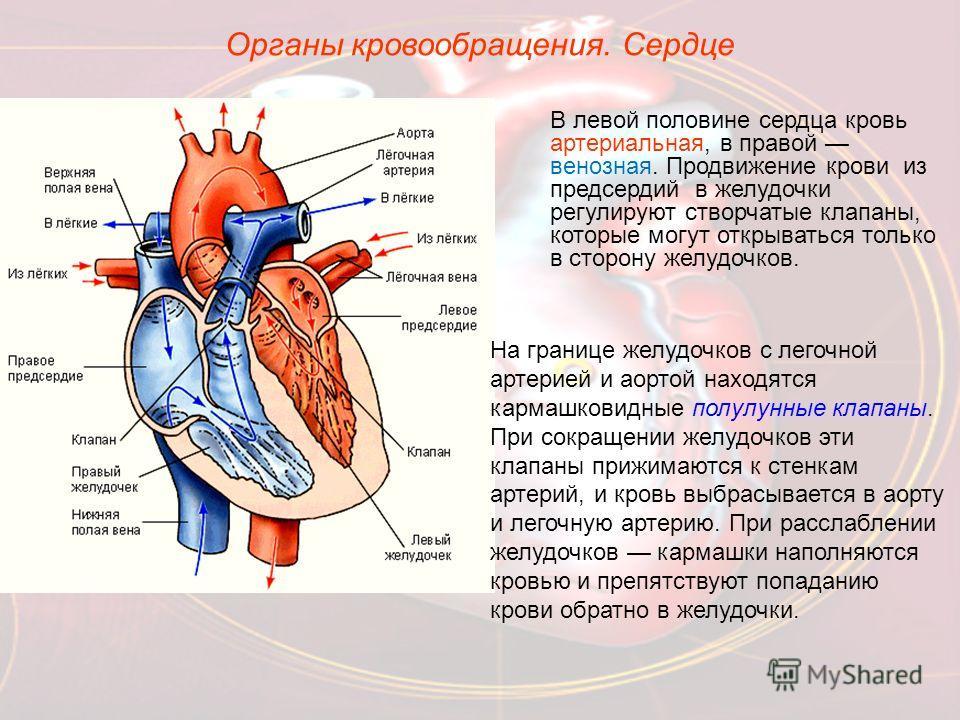 Органы кровообращения. Сердце В левой половине сердца кровь артериальная, в правой венозная. Продвижение крови из предсердий в желудочки регулируют створчатые клапаны, которые могут открываться только в сторону желудочков. На границе желудочков с лег
