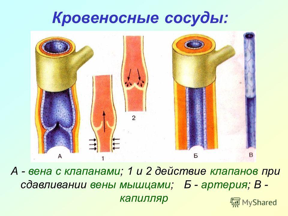 Кровеносные сосуды: А - вена с клапанами; 1 и 2 действие клапанов при сдавливании вены мышцами; Б - артерия; В - капилляр