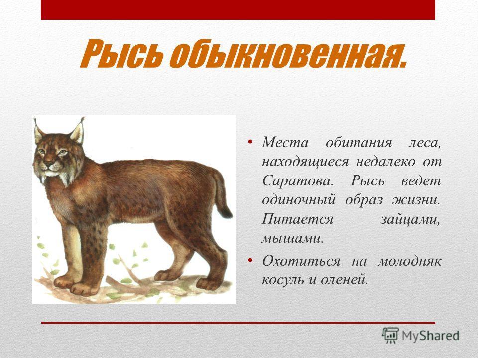 Рысь обыкновенная. Места обитания леса, находящиеся недалеко от Саратова. Рысь ведет одиночный образ жизни. Питается зайцами, мышами. Охотиться на молодняк косуль и оленей.