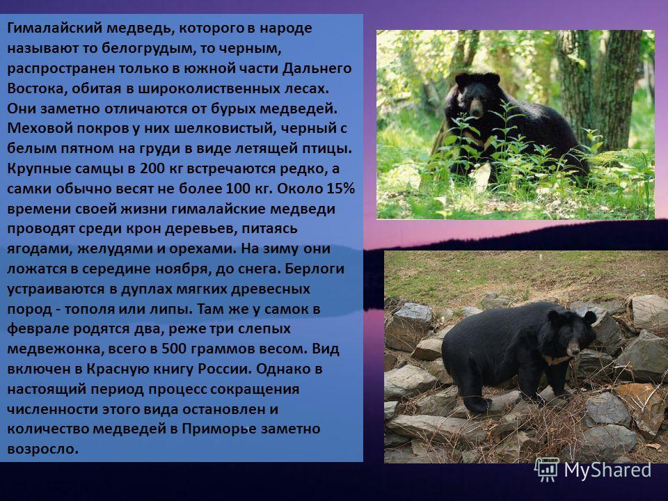 Гималайский медведь, которого в народе называют то белогрудым, то черным, распространен только в южной части Дальнего Востока, обитая в широколиственных лесах. Они заметно отличаются от бурых медведей. Меховой покров у них шелковистый, черный с белым