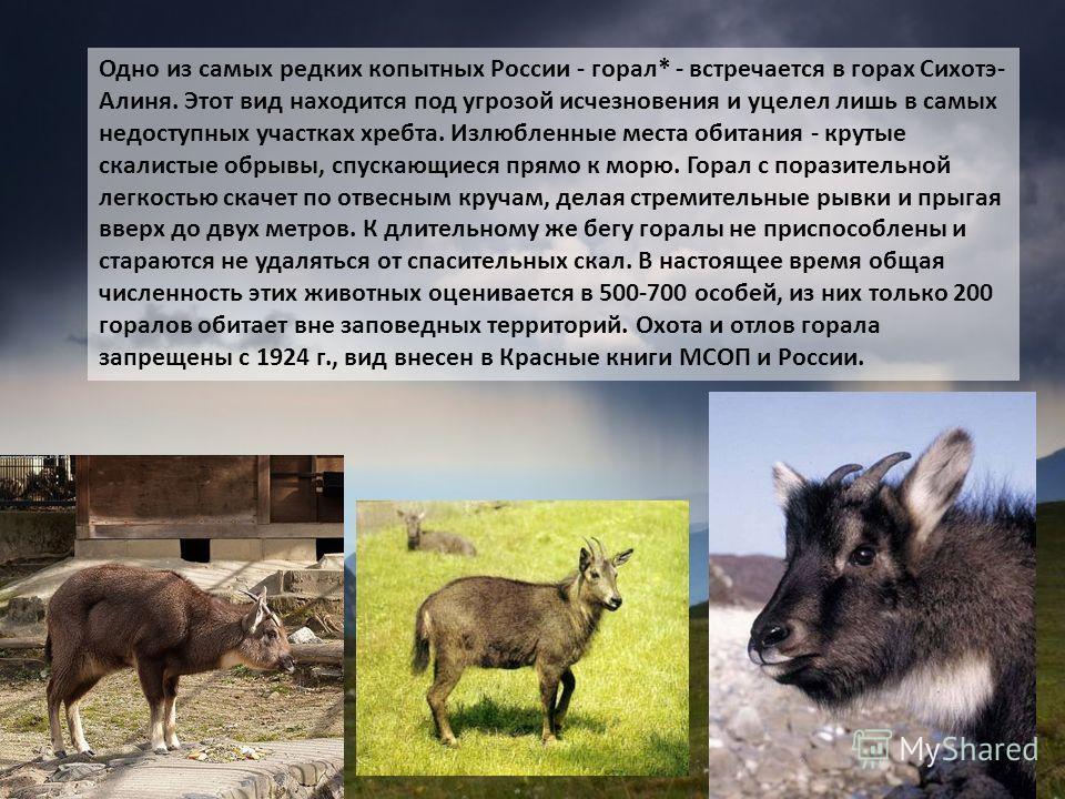 Одно из самых редких копытных России - горал* - встречается в горах Сихотэ- Алиня. Этот вид находится под угрозой исчезновения и уцелел лишь в самых недоступных участках хребта. Излюбленные места обитания - крутые скалистые обрывы, спускающиеся прямо