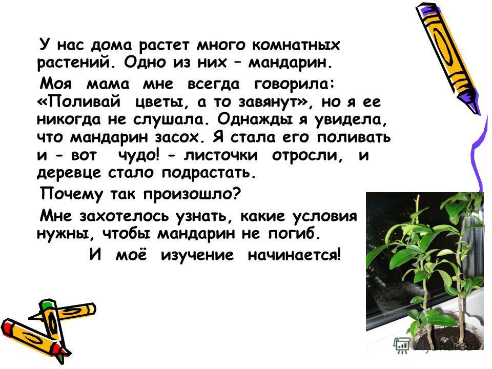 У нас дома растет много комнатных растений. Одно из них – мандарин. Моя мама мне всегда говорила: «Поливай цветы, а то завянут», но я ее никогда не слушала. Однажды я увидела, что мандарин засох. Я стала его поливать и - вот чудо! - листочки отросли,
