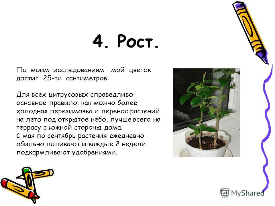 4. Рост. По моим исследованиям мой цветок достиг 25-ти сантиметров. Для всех цитрусовых справедливо основное правило: как можно более холодная перезимовка и перенос растений на лето под открытое небо, лучше всего на террасу с южной стороны дома. С ма