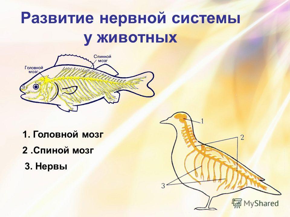 1. Головной мозг 2.Спиной мозг 3. Нервы