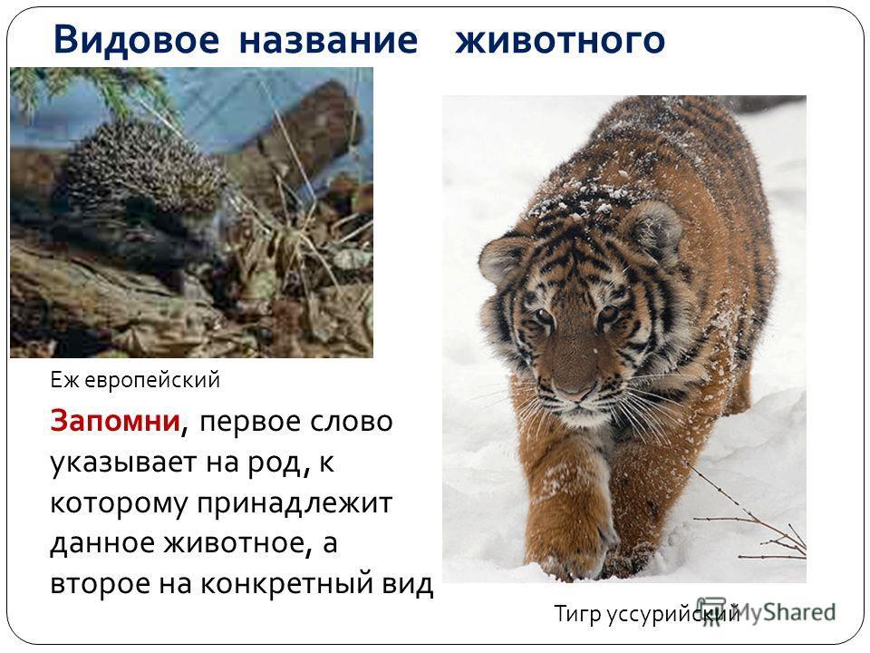 Видовое название животного Еж европейский Тигр уссурийский Запомни, первое слово указывает на род, к которому принадлежит данное животное, а второе на конкретный вид