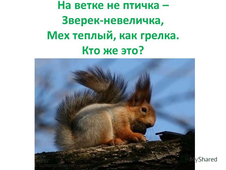 На ветке не птичка – Зверек-невеличка, Мех теплый, как грелка. Кто же это?
