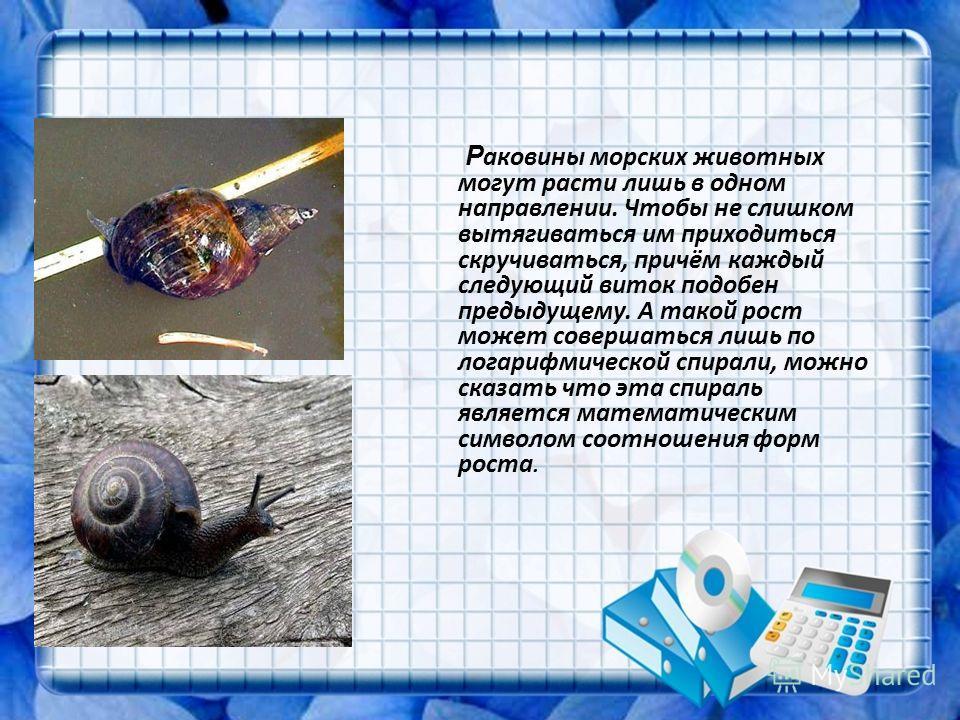 Р аковины морских животных могут расти лишь в одном направлении. Чтобы не слишком вытягиваться им приходиться скручиваться, причём каждый следующий виток подобен предыдущему. А такой рост может совершаться лишь по логарифмической спирали, можно сказа