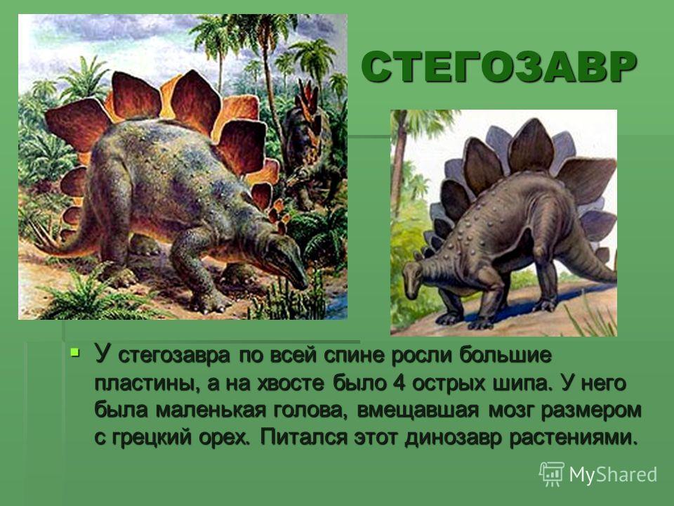 СТЕГОЗАВР У стегозавра по всей спине росли большие пластины, а на хвосте было 4 острых шипа. У него была маленькая голова, вмещавшая мозг размером с грецкий орех. Питался этот динозавр растениями. У стегозавра по всей спине росли большие пластины, а