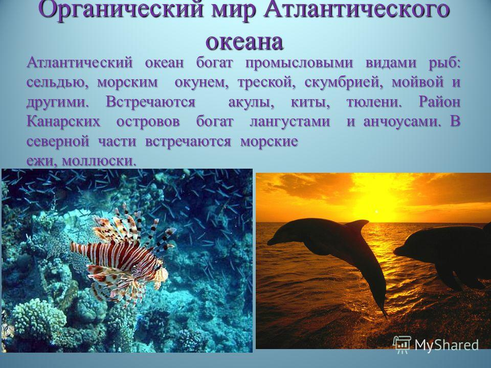Органический мир Атлантического океана Атлантический океан богат промысловыми видами рыб : сельдью, морским окунем, треской, скумбрией, мойвой и другими. Встречаются акулы, киты, тюлени. Район Канарских островов богат лангустами и анчоусами. В северн