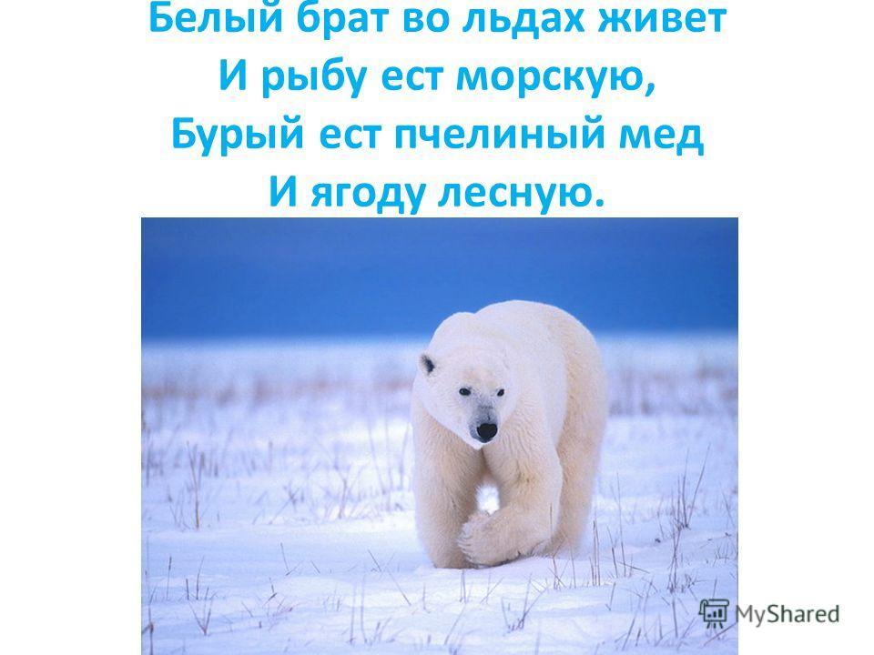 Белый брат во льдах живет И рыбу ест морскую, Бурый ест пчелиный мед И ягоду лесную.