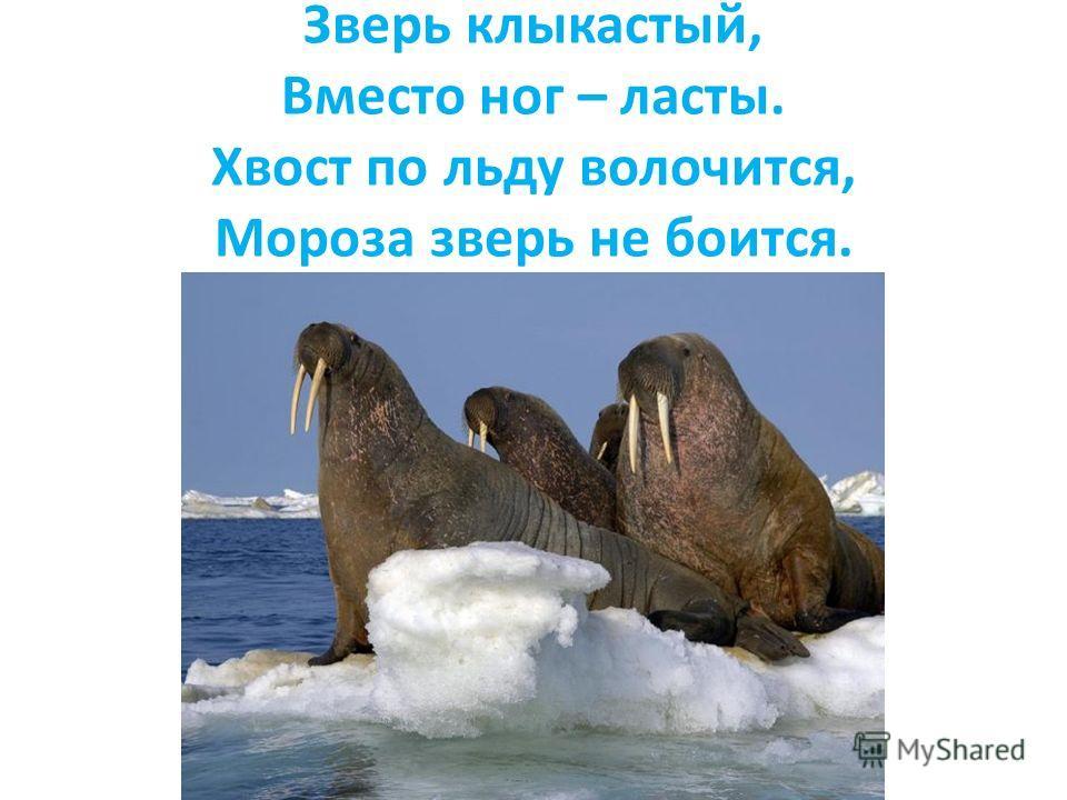 Зверь клыкастый, Вместо ног – ласты. Хвост по льду волочится, Мороза зверь не боится.