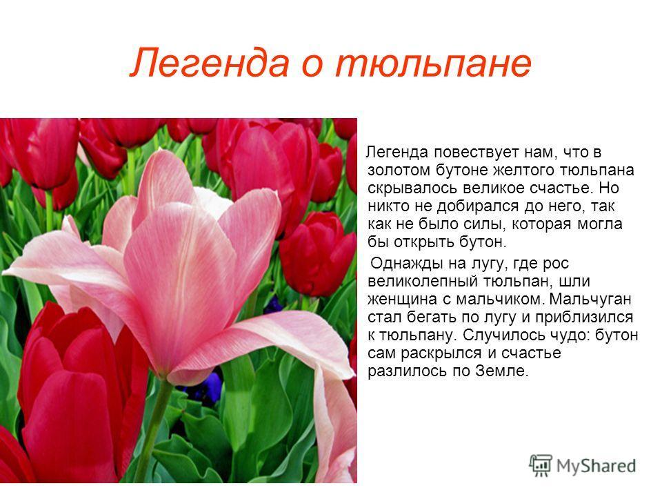 Легенда о тюльпане Легенда повествует нам, что в золотом бутоне желтого тюльпана скрывалось великое счастье. Но никто не добирался до него, так как не было силы, которая могла бы открыть бутон. Однажды на лугу, где рос великолепный тюльпан, шли женщи
