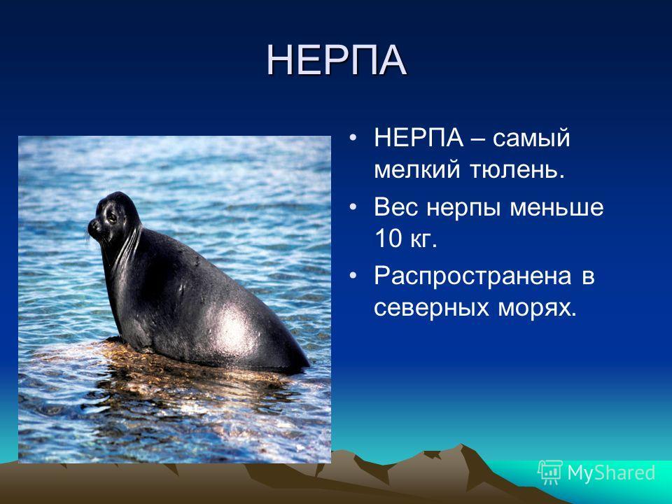 НЕРПА НЕРПА – самый мелкий тюлень. Вес нерпы меньше 10 кг. Распространена в северных морях.