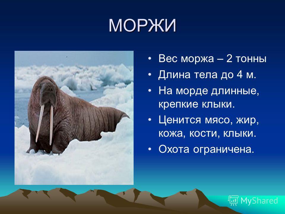 МОРЖИ Вес моржа – 2 тонны Длина тела до 4 м. На морде длинные, крепкие клыки. Ценится мясо, жир, кожа, кости, клыки. Охота ограничена.