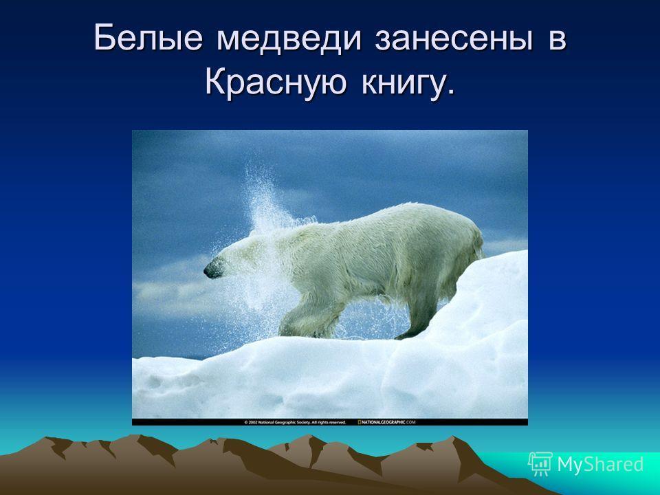 Белые медведи занесены в Красную книгу.