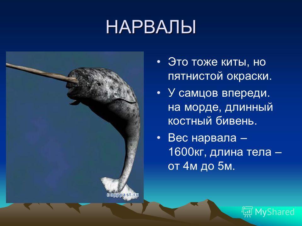 НАРВАЛЫ Это тоже киты, но пятнистой окраски. У самцов впереди. на морде, длинный костный бивень. Вес нарвала – 1600кг, длина тела – от 4м до 5м.