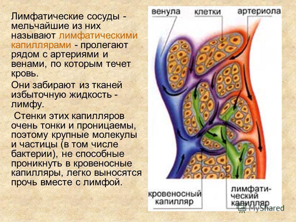 Лимфатические сосуды - мельчайшие из них называют лимфатическими капиллярами - пролегают рядом с артериями и венами, по которым течет кровь. Они забирают из тканей избыточную жидкость - лимфу. Стенки этих капилляров очень тонки и проницаемы, поэтому