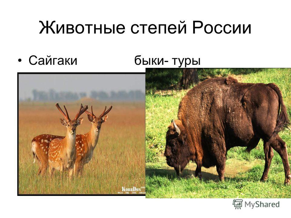 Животные степей России Сайгаки быки- туры