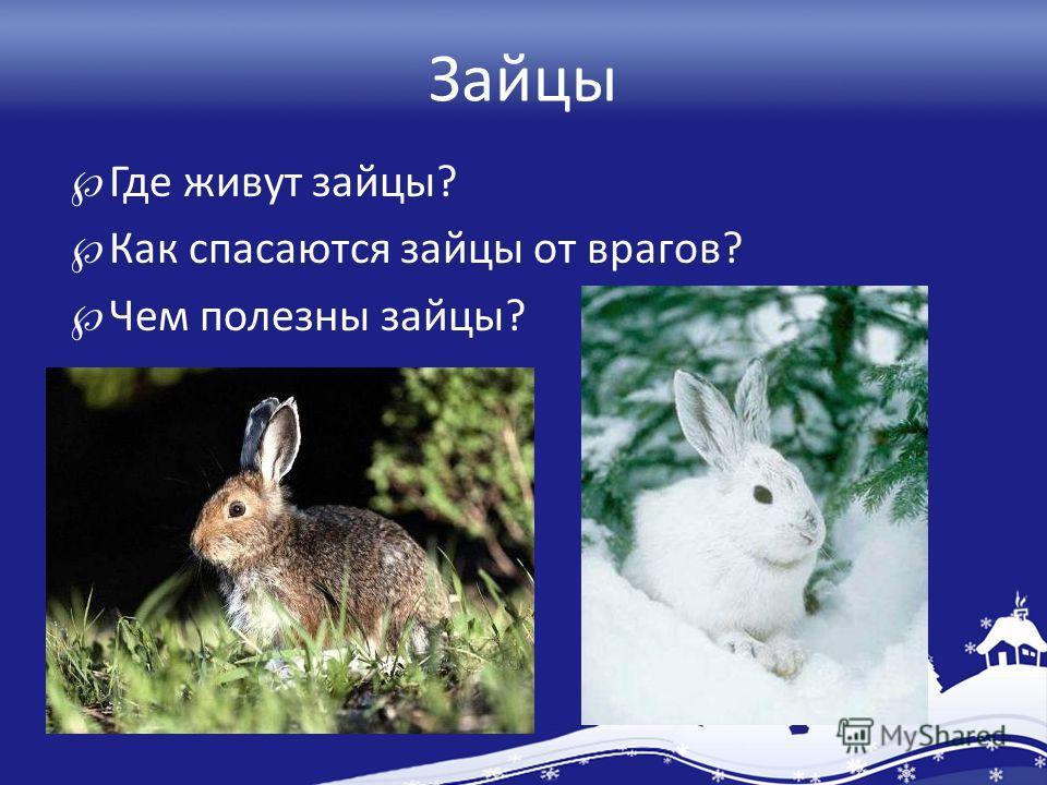 Зайцы Где живут зайцы? Как спасаются зайцы от врагов? Чем полезны зайцы?
