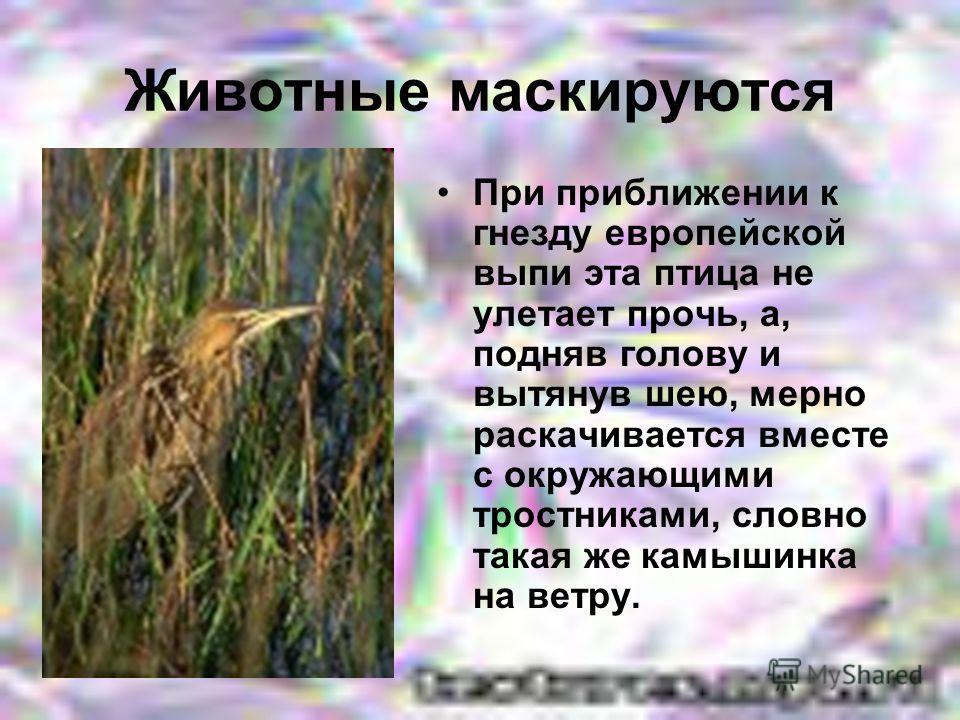 Животные маскируются При приближении к гнезду европейской выпи эта птица не улетает прочь, а, подняв голову и вытянув шею, мерно раскачивается вместе с окружающими тростниками, словно такая же камышинка на ветру.