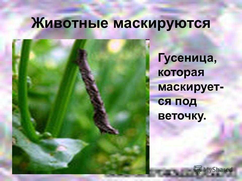 Гусеница, которая маскирует- ся под веточку.