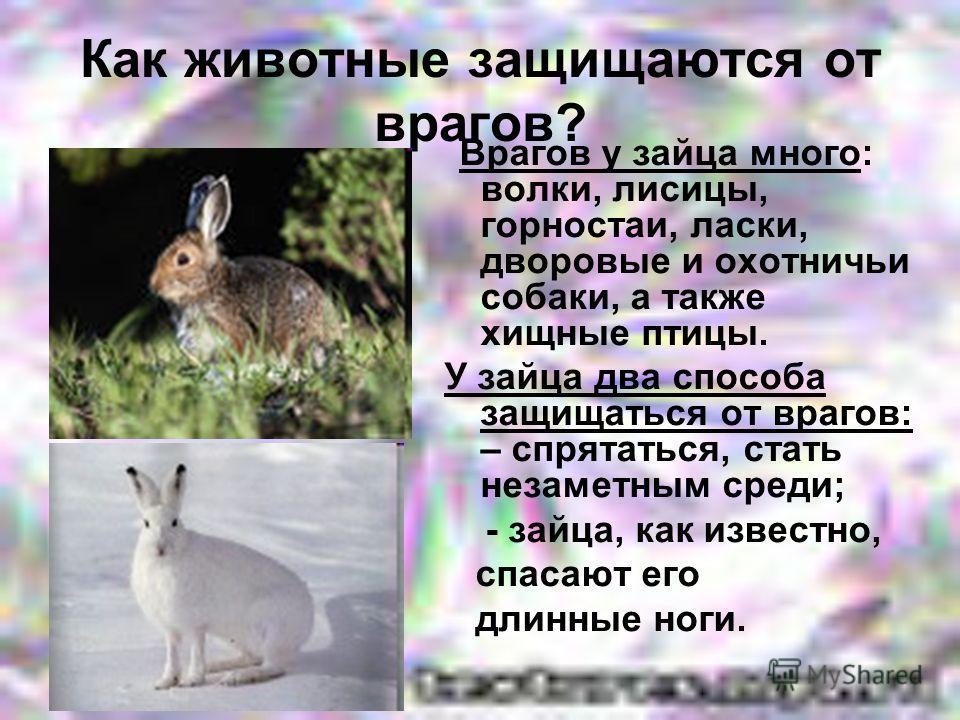 Как животные защищаются от врагов? Врагов у зайца много: волки, лисицы, горностаи, ласки, дворовые и охотничьи собаки, а также хищные птицы. У зайца два способа защищаться от врагов: – спрятаться, стать незаметным среди; - зайца, как известно, спасаю