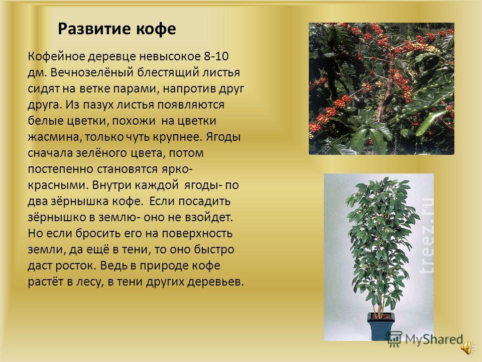 Развитие кофе Кофейное деревце невысокое 8-10 дм. Вечнозелёный блестящий листья сидят на ветке парами, напротив друг друга. Из пазух листья появляются белые цветки, похожи на цветки жасмина, только чуть крупнее. Ягоды сначала зелёного цвета, потом по