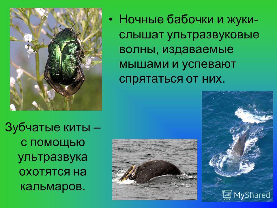 Зубчатые киты – с помощью ультразвука охотятся на кальмаров. Ночные бабочки и жуки- слышат ультразвуковые волны, издаваемые мышами и успевают спрятаться от них.