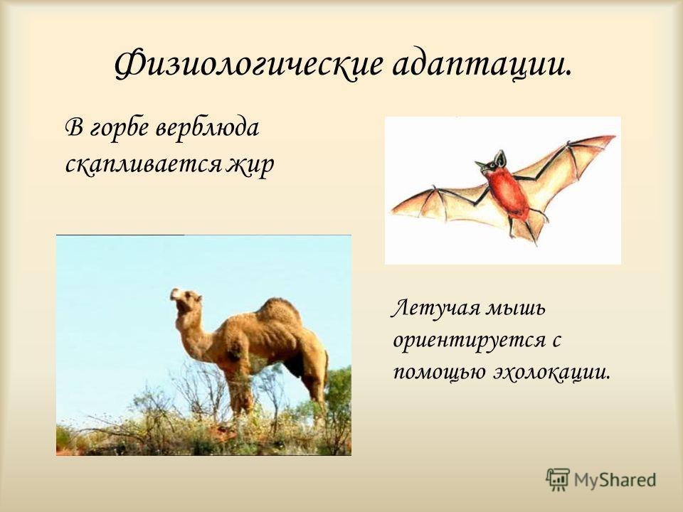 Физиологические адаптации. В горбе верблюда скапливается жир Летучая мышь ориентируется с помощью эхолокации.