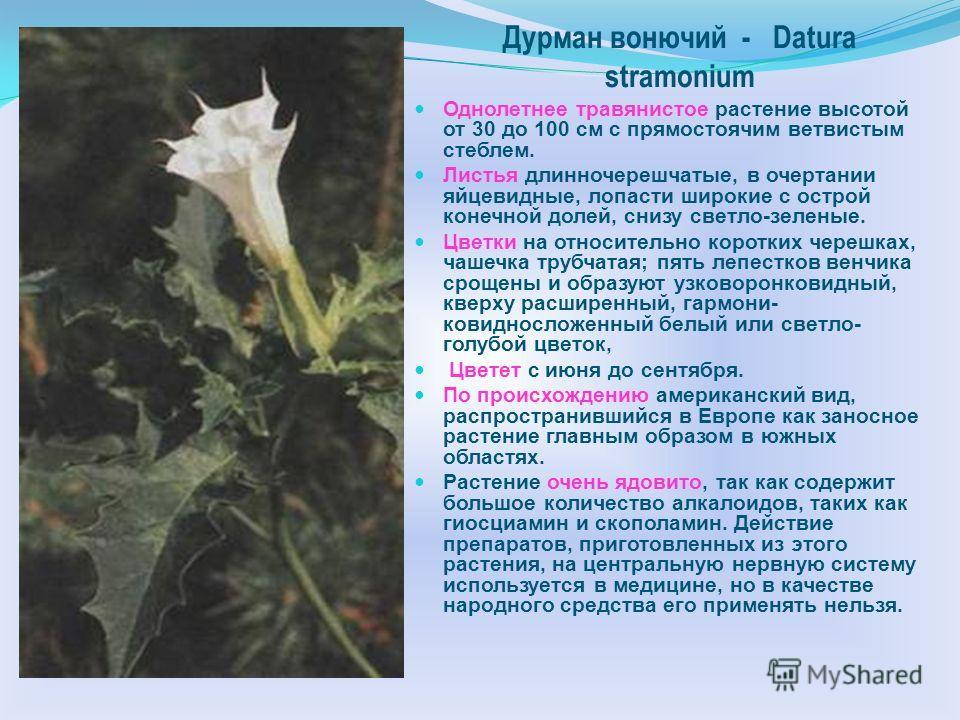 Многообразие растений семейства Паслён сладко-горький Solanum dulcamara L. Многолетнее травянистое растение или полукустарник высотой от 30 см до 2 метров. Стебли лазящие, от основания ветвистые, у основания древеснеющие. Листья очередные, без прилис