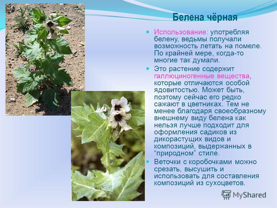 Однолетнее травянистое растение высотой от 30 до 100 см с прямостоячим ветвистым стеблем. Листья длинночерешчатые, в очертании яйцевидные, лопасти широкие с ocтpoй конечной долей, снизу светло-зеленые. Цветки на относительно коротких черешках, чашечк