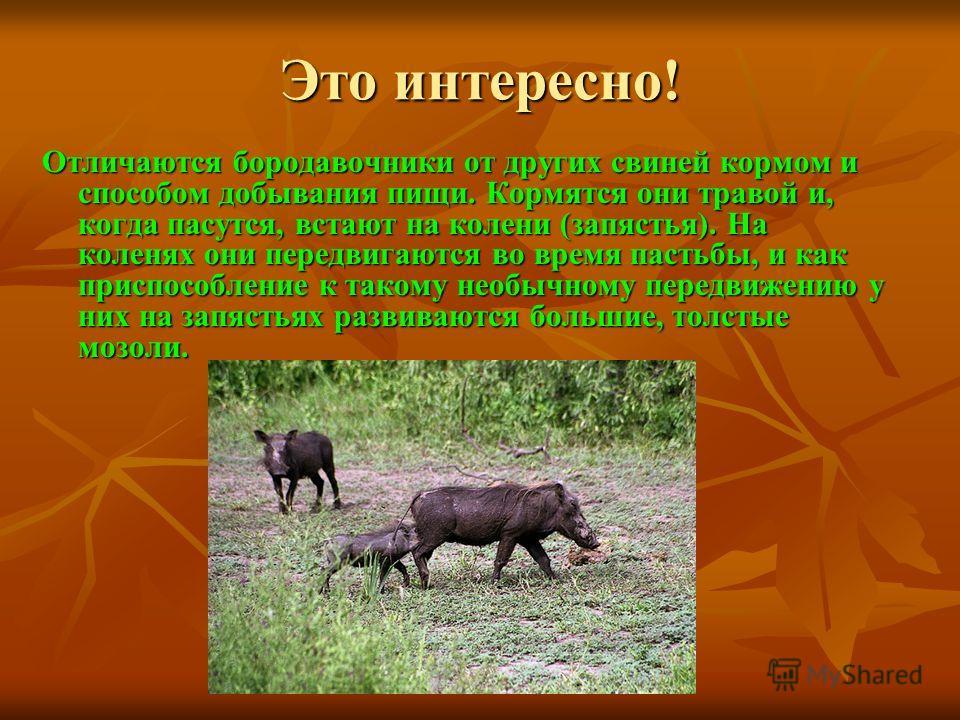 Это интересно! Отличаются бородавочники от других свиней кормом и способом добывания пищи. Кормятся они травой и, когда пасутся, встают на колени (запястья). На коленях они передвигаются во время пастьбы, и как приспособление к такому необычному пере