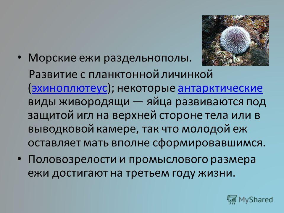 Морские ежи раздельнополы. Развитие с планктонной личинкой (эхиноплютеус); некоторые антарктические виды живородящи яйца развиваются под защитой игл на верхней стороне тела или в выводковой камере, так что молодой еж оставляет мать вполне сформировав