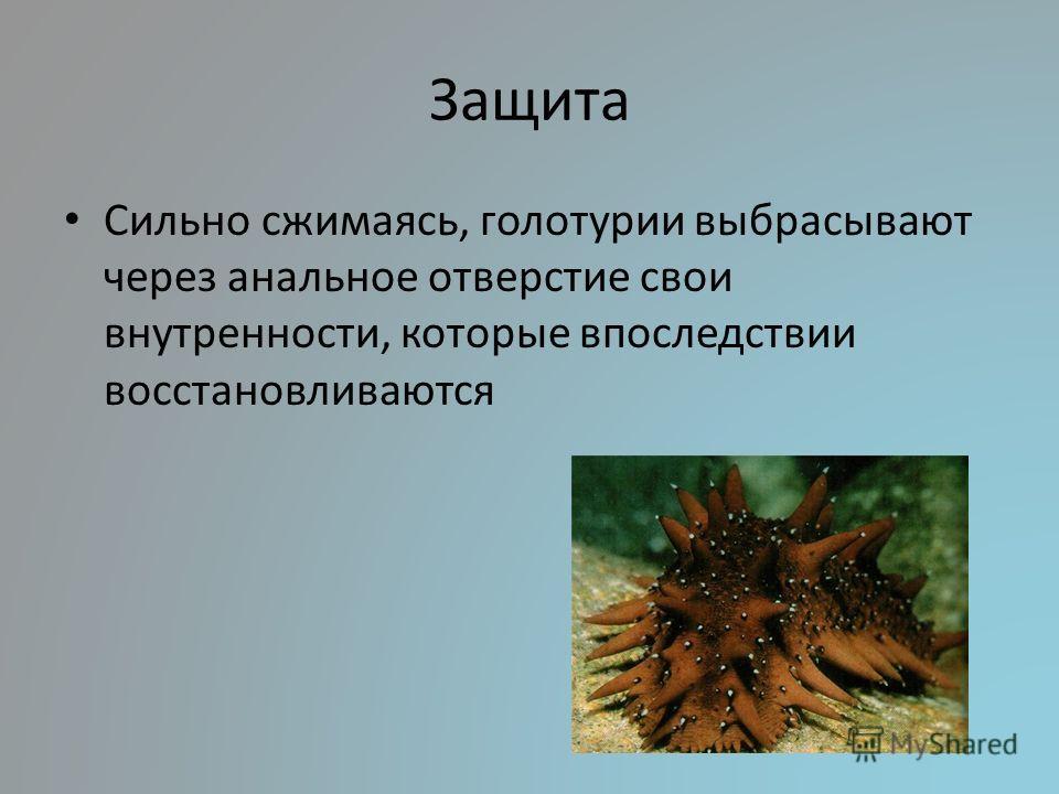 Защита Сильно сжимаясь, голотурии выбрасывают через анальное отверстие свои внутренности, которые впоследствии восстановливаются