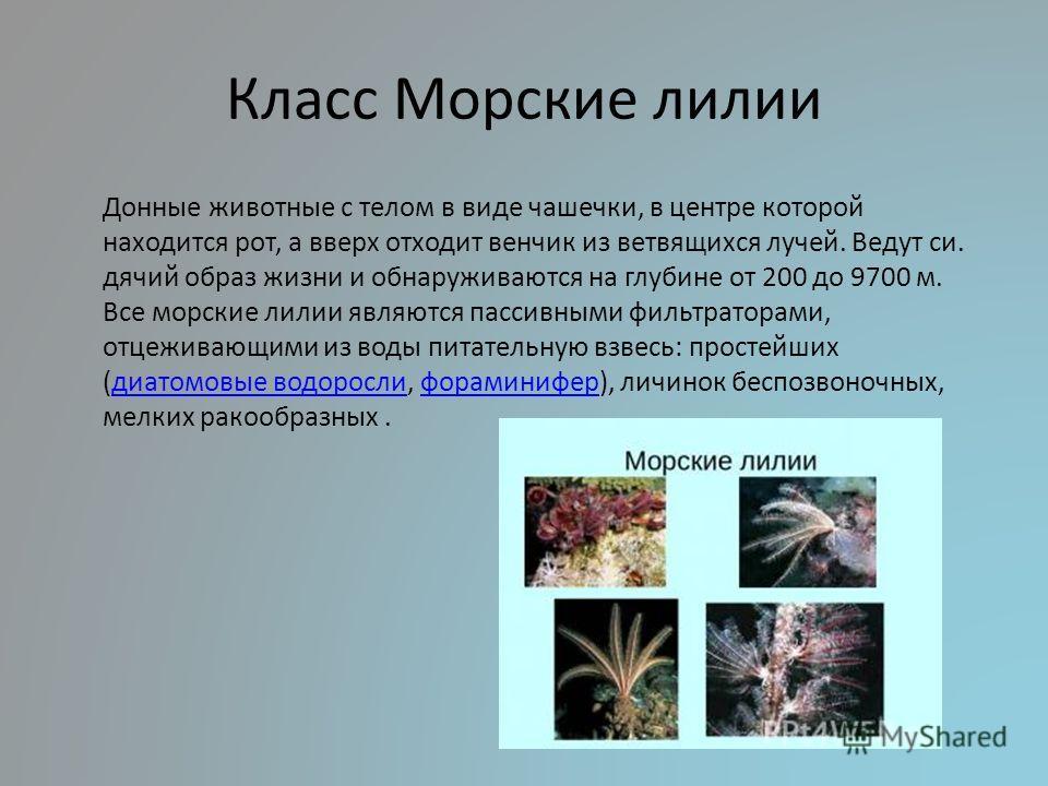 Класс Морские лилии Донные животные с телом в виде чашечки, в центре которой находится рот, а вверх отходит венчик из ветвящихся лучей. Ведут си. дячий образ жизни и обнаруживаются на глубине от 200 до 9700 м. Все морские лилии являются пассивными фи