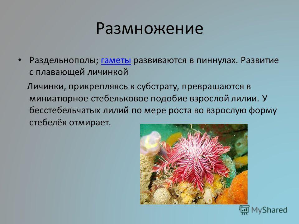 Размножение Раздельнополы; гаметы развиваются в пиннулах. Развитие с плавающей личинкойгаметы Личинки, прикрепляясь к субстрату, превращаются в миниатюрное стебельковое подобие взрослой лилии. У бесстебельчатых лилий по мере роста во взрослую форму с