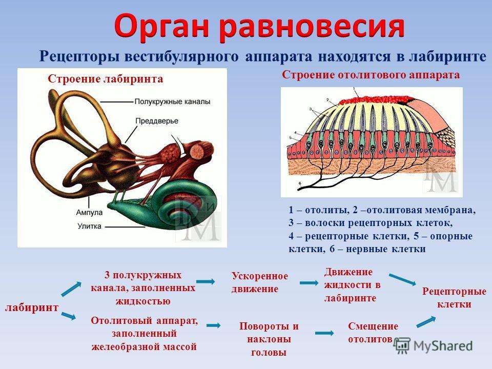 Строение отолитового аппарата 1 – отолиты, 2 –отолитовая мембрана, 3 – волоски рецепторных клеток, 4 – рецепторные клетки, 5 – опорные клетки, 6 – нервные клетки лабиринт 3 полукружных канала, заполненных жидкостью Отолитовый аппарат, заполненный жел