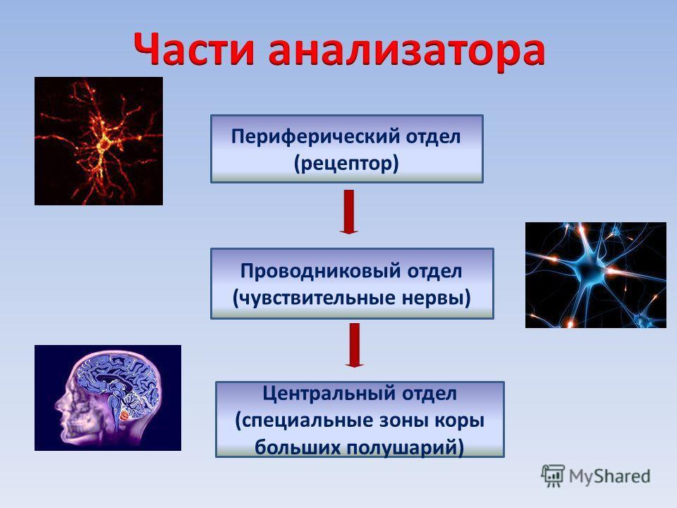 Периферический отдел (рецептор) Проводниковый отдел (чувствительные нервы) Центральный отдел (специальные зоны коры больших полушарий)