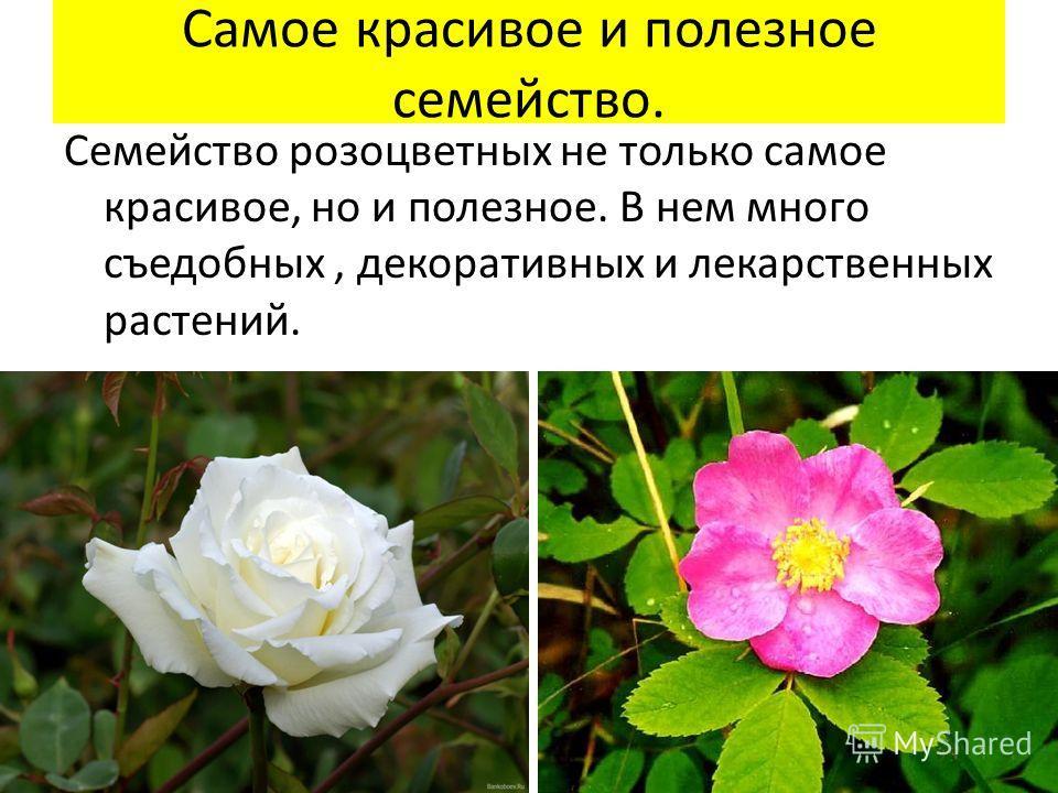 Самое красивое и полезное семейство. Семейство розоцветных не только самое красивое, но и полезное. В нем много съедобных, декоративных и лекарственных растений.