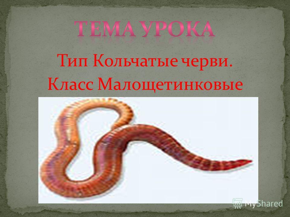 Тип Кольчатые черви. Класс Малощетинковые