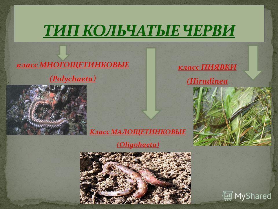 класс МНОГОЩЕТИНКОВЫЕ (Polychaeta) класс ПИЯВКИ (Hirudinea Класс МАЛОЩЕТИНКОВЫЕ (Oligohaeta)