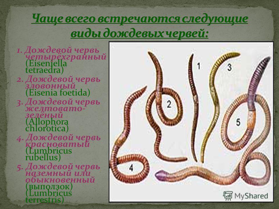 1. Дождевой червь четырёхгранный (Eiseniella tetraedra) 2. Дождевой червь зловонный (Eisenia foetida) 3. Дождевой червь желтовато- зелёный (Allophora chlorotica) 4. Дождевой червь красноватый (Lumbricus rubellus) 5. Дождевой червь наземный или обыкно